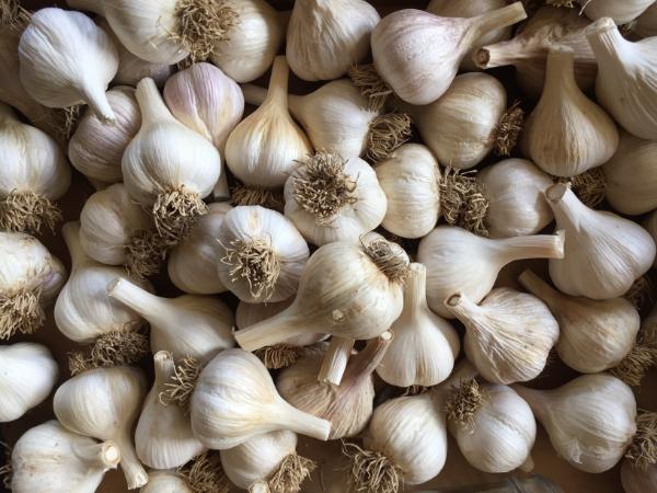 garlic-hardneck-type