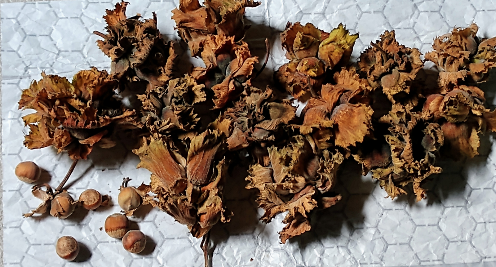 fresh-native-hazelnuts-roasting-ready-14-lb