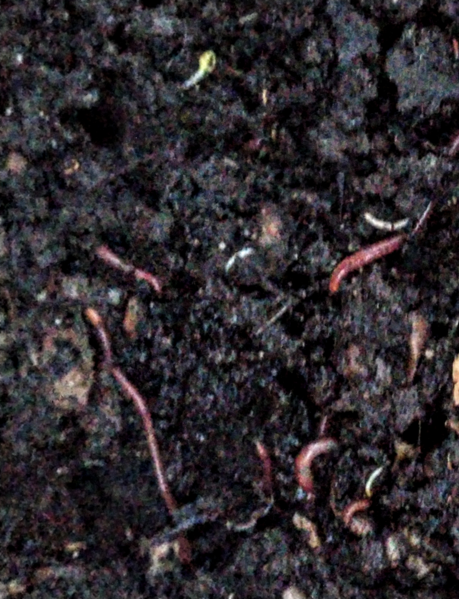 compost-magic-red-wriggler-worms