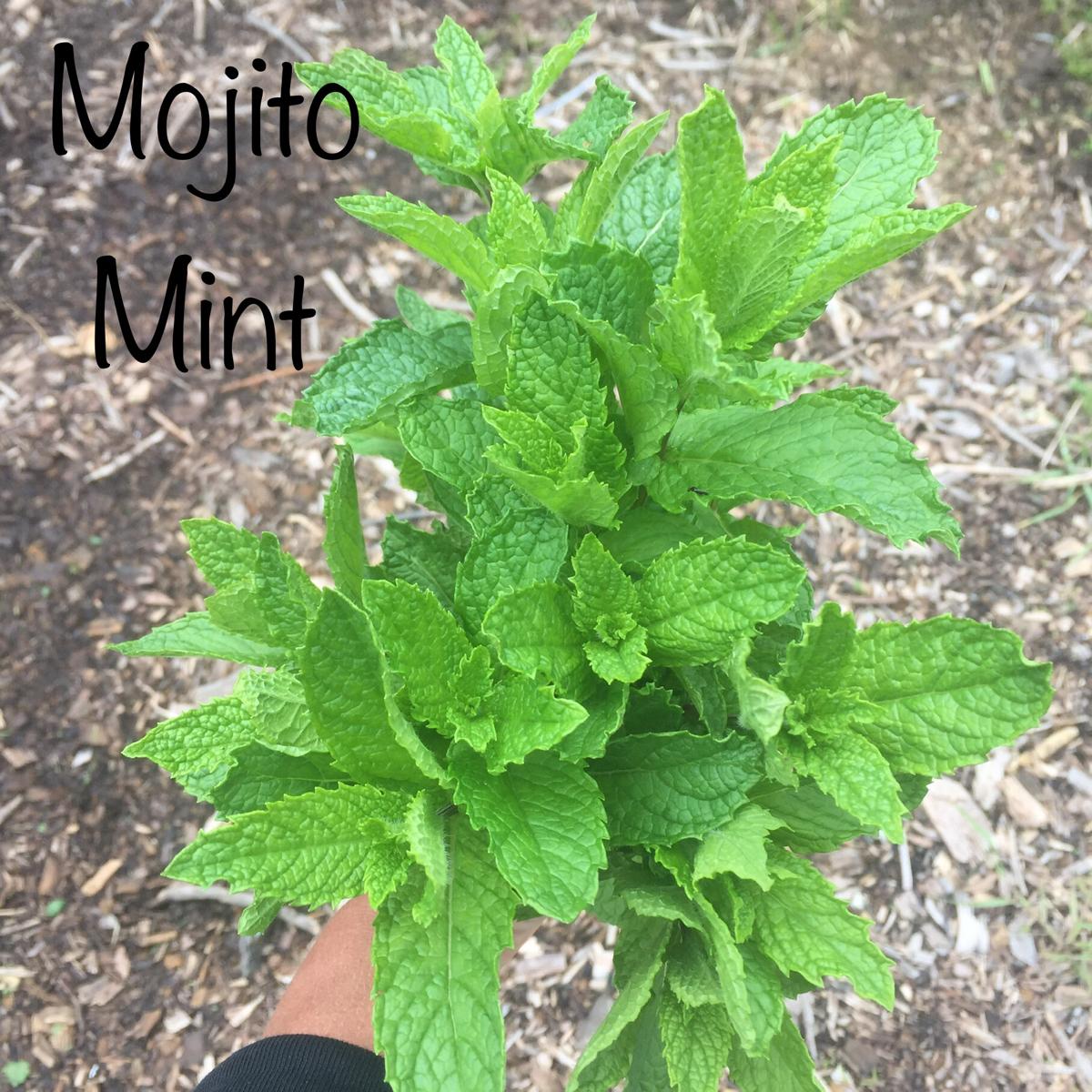 mint-mojito-bunch