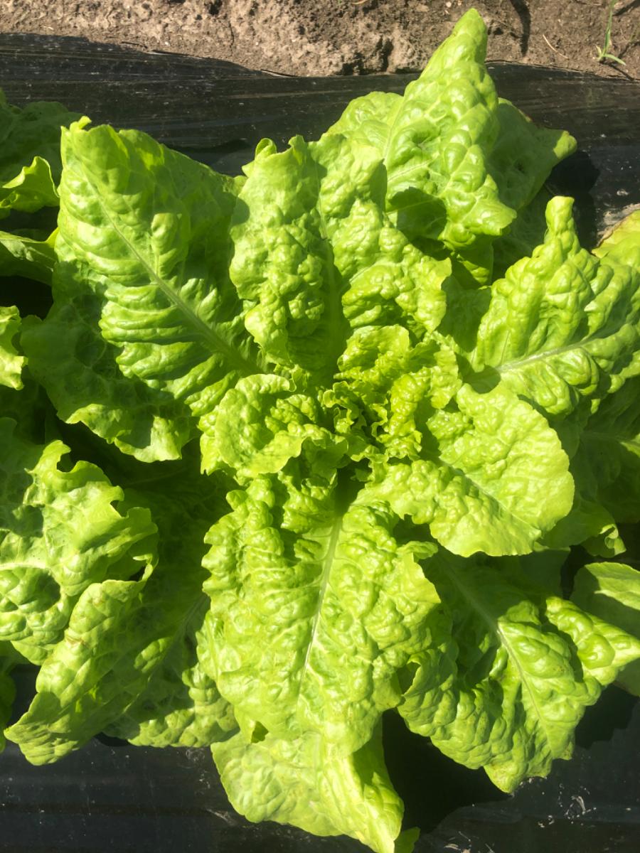 organic-buttercrunch-lettuce