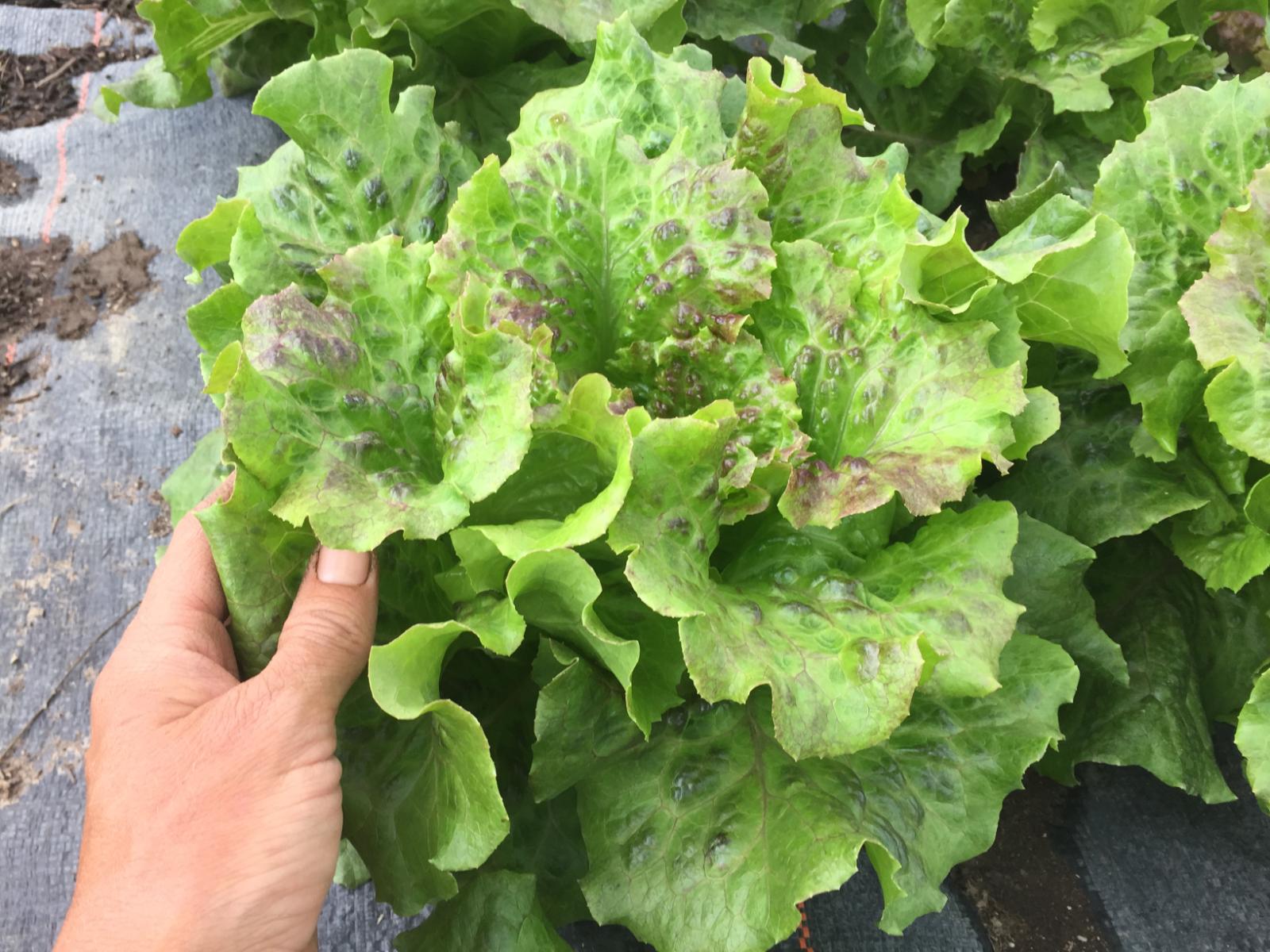 butterhead-lettuce