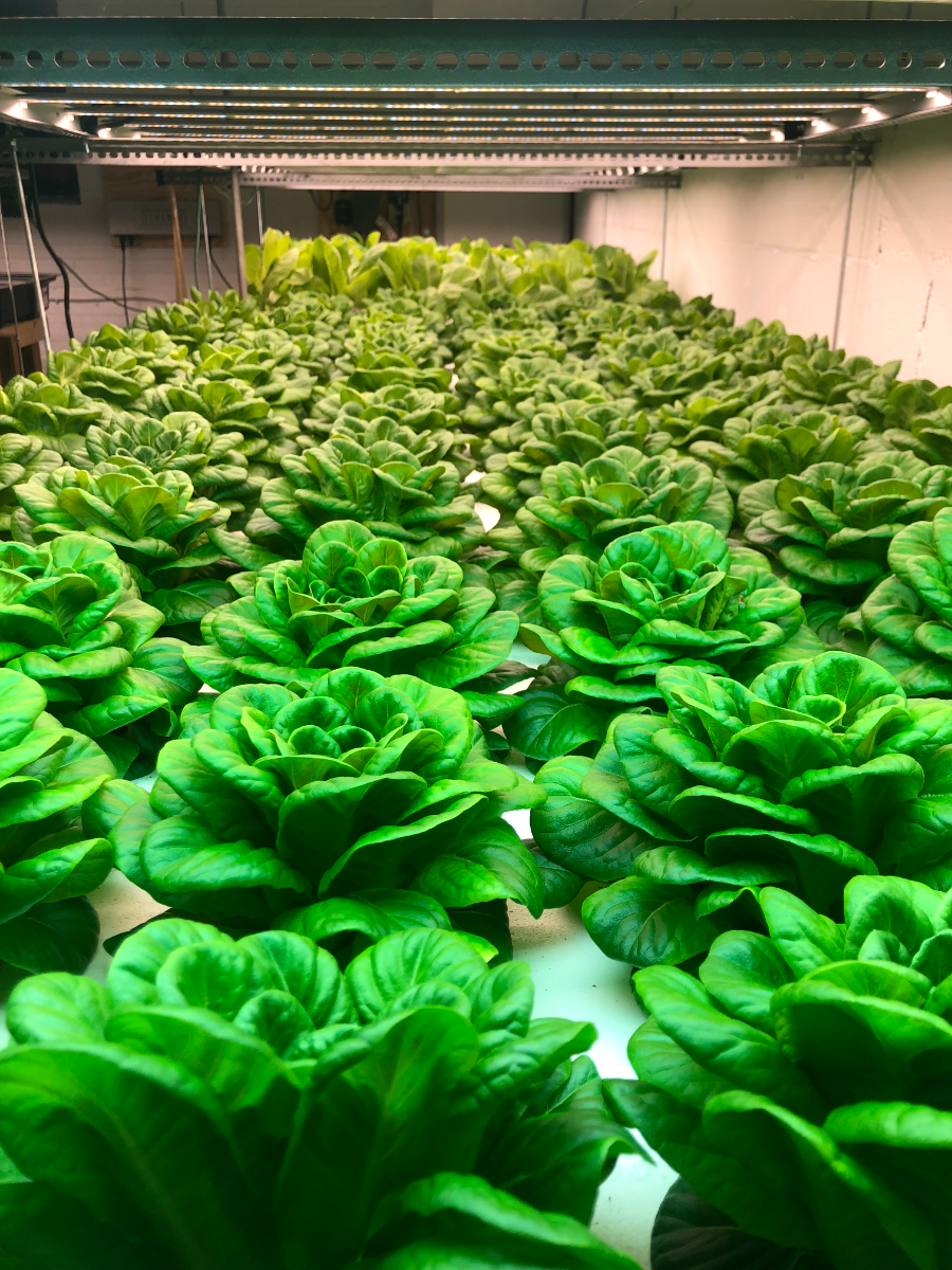 mixed-lettuce-heads
