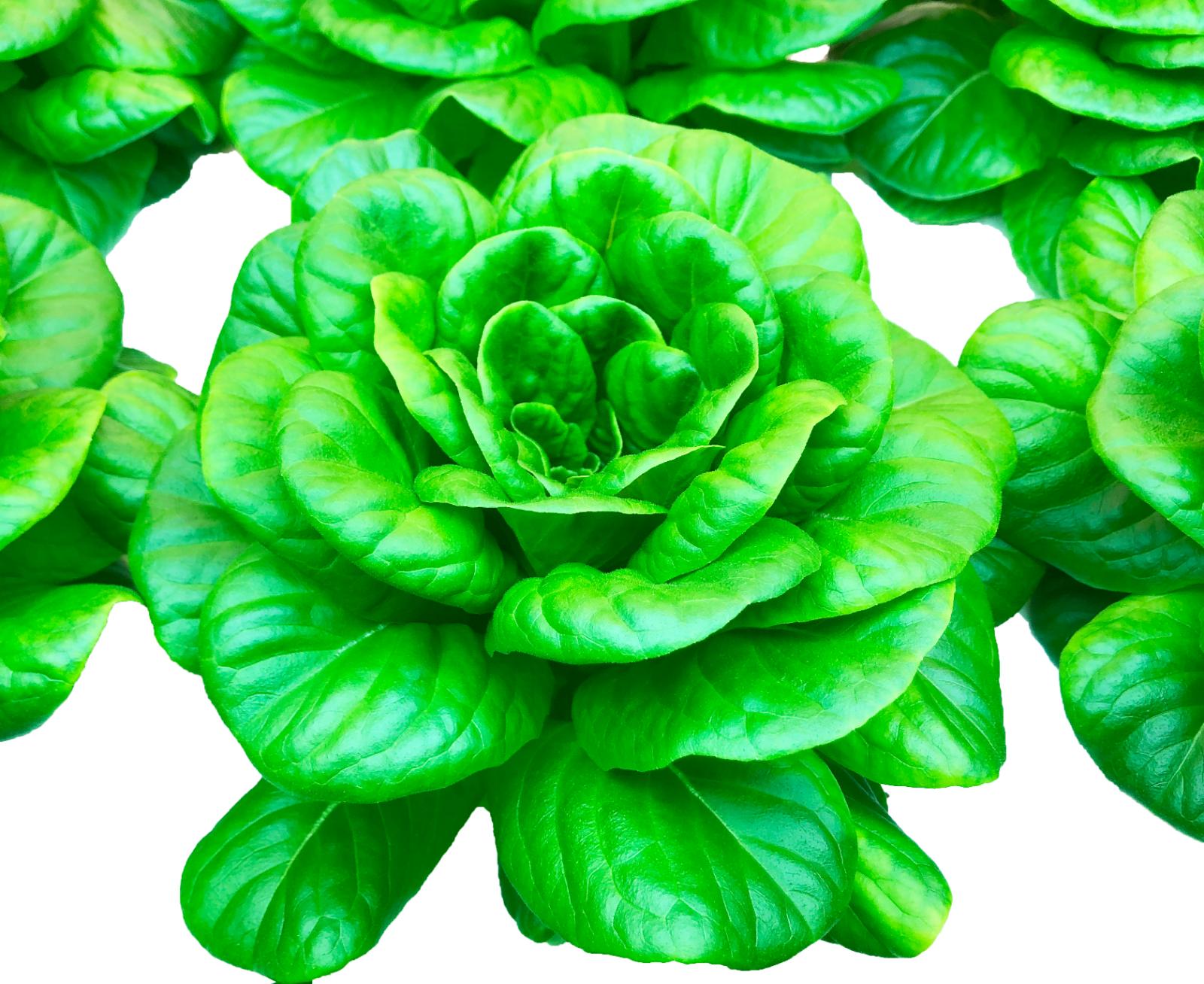 green-butter-lettuce-head-1