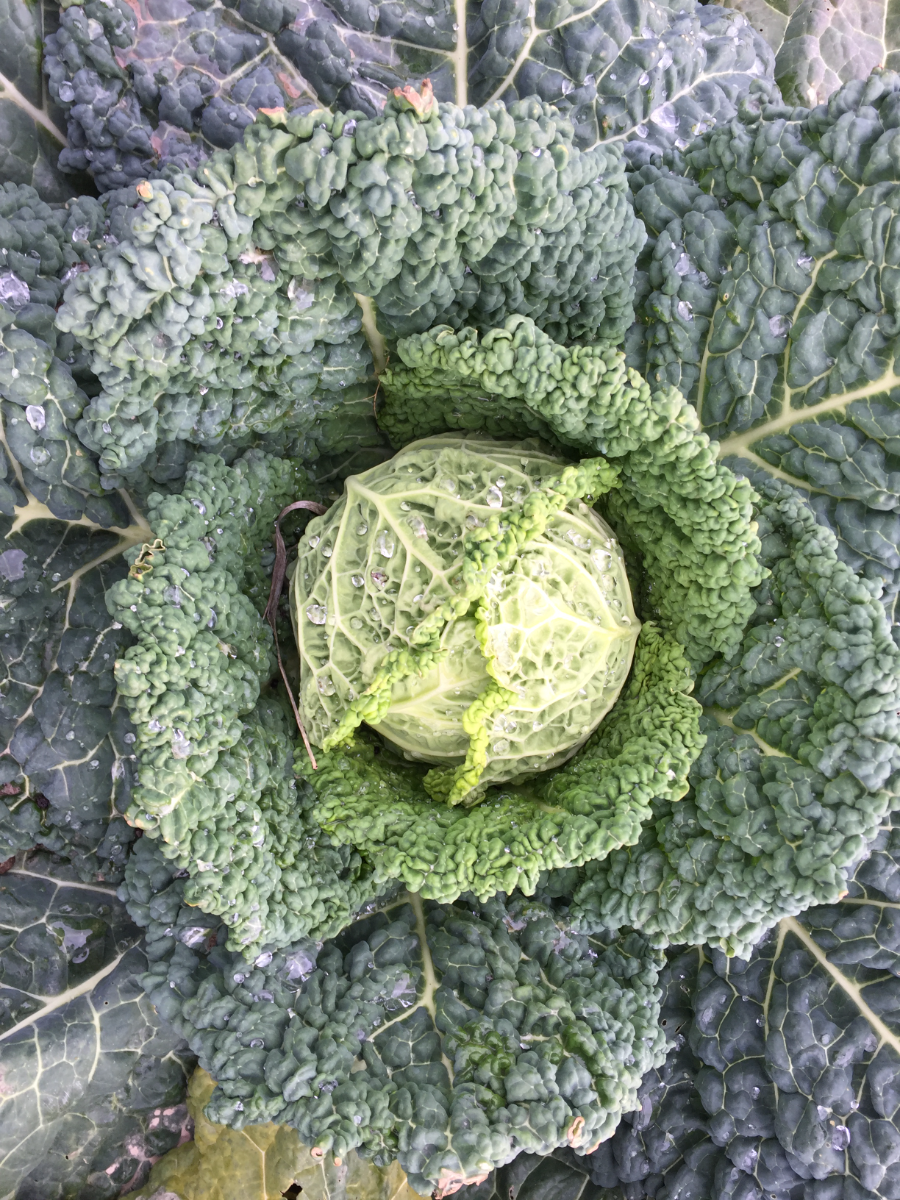 cabbage-certified-organic