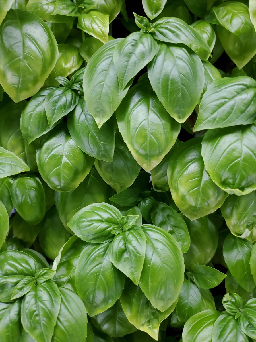 fresh-genovese-basil-2