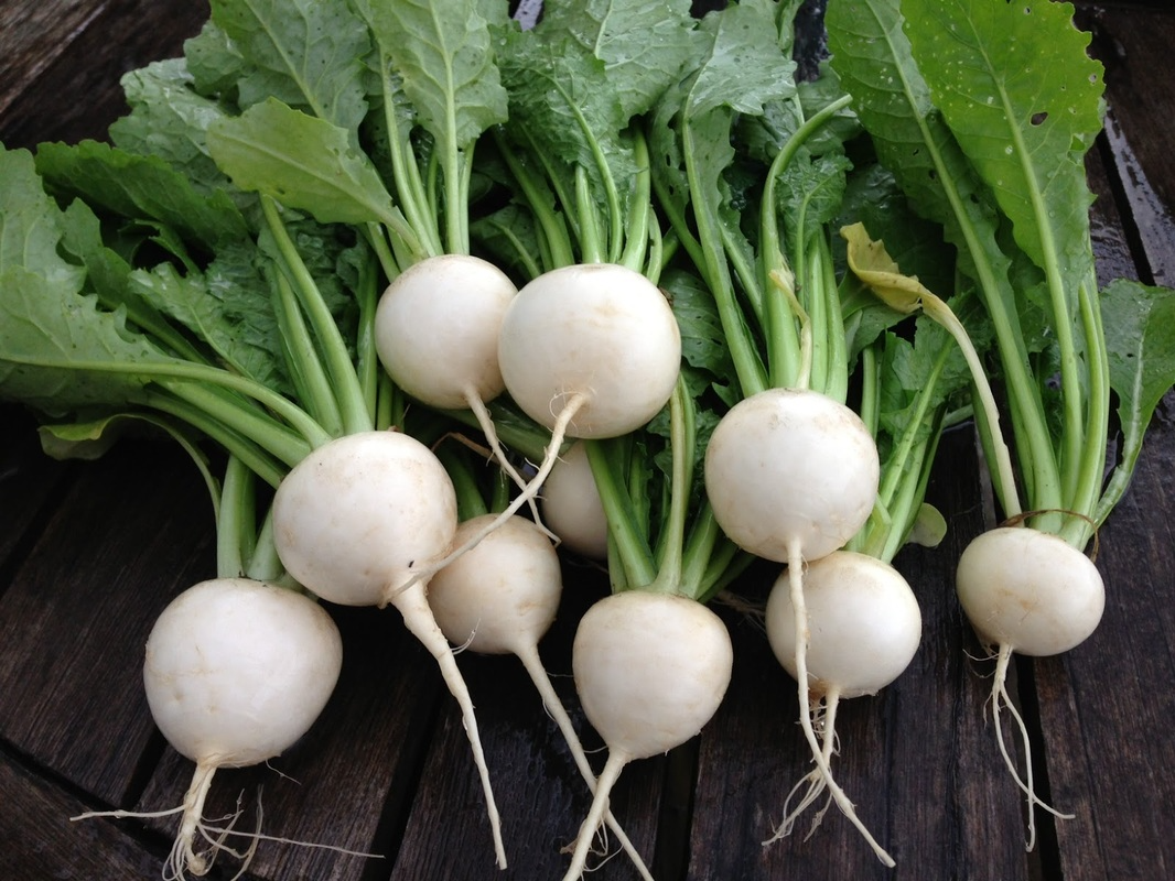 hydroponically-grown-salad-turnips-wgreens-3-heads