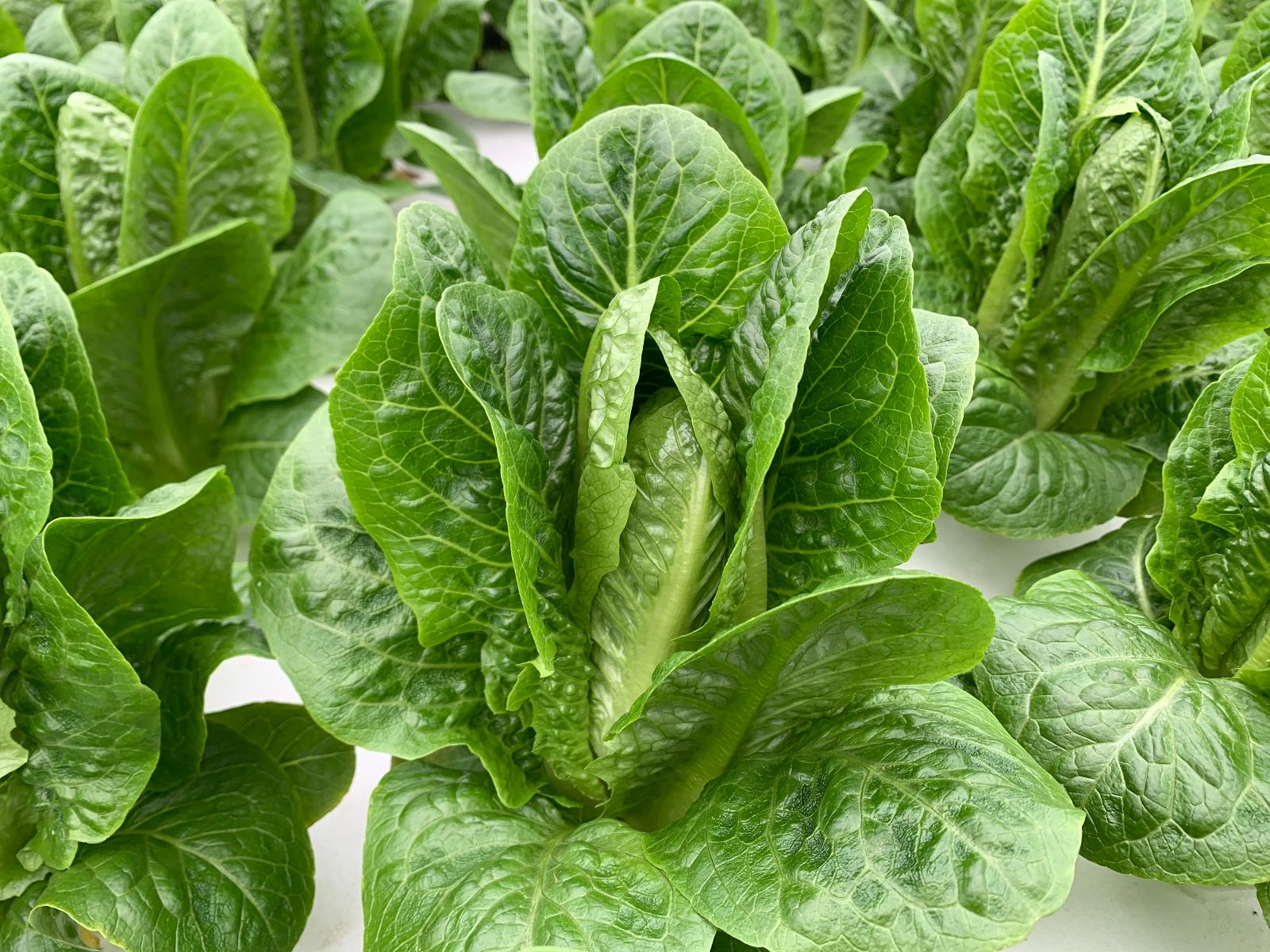 green-romaine-lettuce
