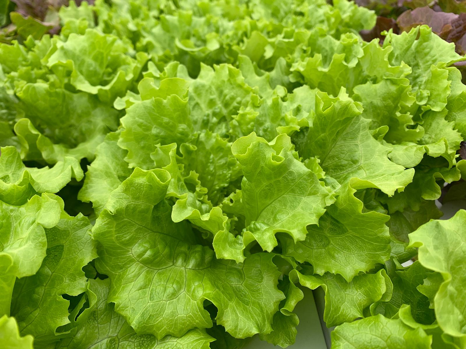 Green-Leaf-Lettuce20