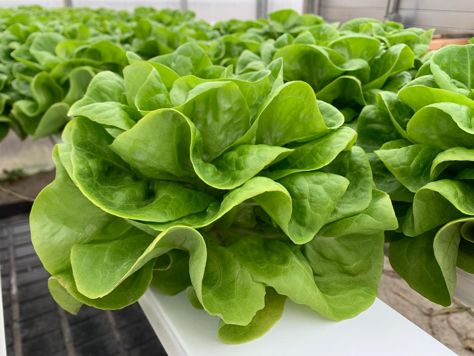 Green-Butterhead-Lettuce